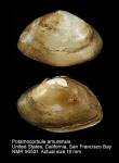 Potamocorbula amurensis