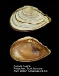 Corbula ovalina