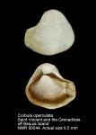 Corbula operculata