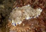 Dermatobranchus caeruleomaculatus