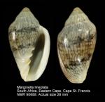 Marginella lineolata