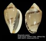 Marginella peelae
