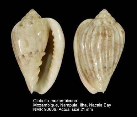 Glabella mozambicana