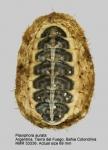 Plaxiphora aurata