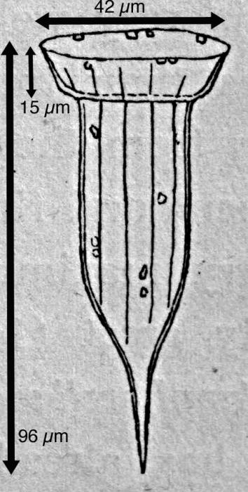 Ormosella trachelium - Illustration from original description