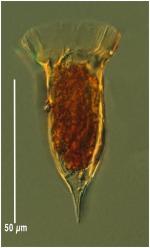 Ormosella trachelium
