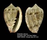 Glabella obtusa