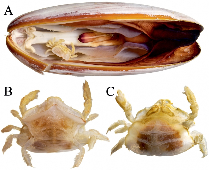 Serenotheres janus - holotype