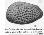 Perissocytheridea matsoni (Stephenson, 1935) from Stephenson, 1938