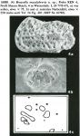 Bosasella maculabrevis Jellinek, 1993 from original description