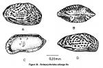 Perissocytheridea oblonga Hu, 1976 from Hu, 1978