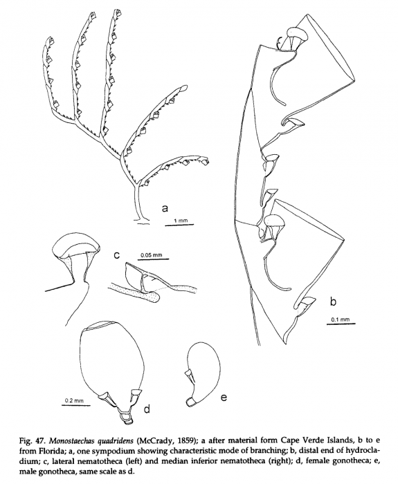 Monostaechas quadridens, from Schuchert (1997)