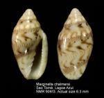 Marginella chalmersi