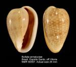 Bullata analuciae