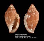 Marginella cloveri