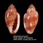 Marginella purpurea