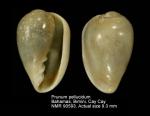Prunum pellucidum