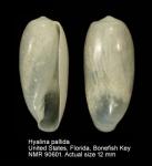 Hyalina pallida