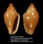 Eratoidea hematita