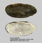 Eurynia dilatata