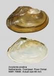 Anodonta anatina