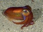 Bobtail squid, Rossia macrosoma