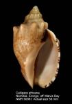 Callipara africana