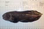 Gelatinous snailfish - male