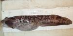 Lycodes reticulatus