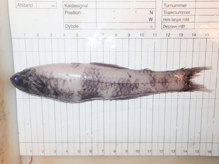 Lampanyctus macdonaldi