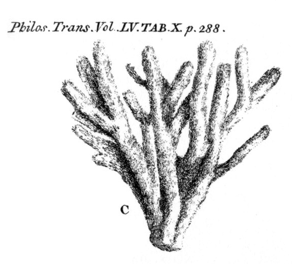 Spongia stuposa Ellis & Solander, 1786