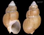 Buccinum striatellum Golikov, 1980 [holotype]