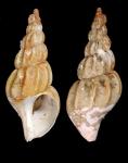 Plicibuccinum plicatum Golikov & Gulbin, 1977