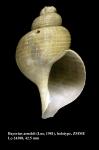 Bayerius arnoldi (Lus, 1981) [holotype]