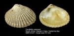 Carditella capensis