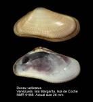 Donax vellicatus
