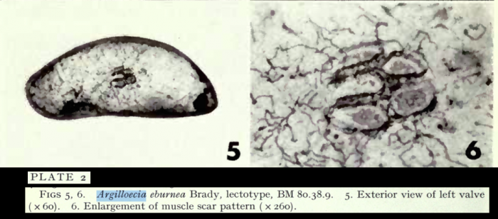 Argilloecia eburnea Brady, 1880 - lectotype from Puri & Hulings, 1976
