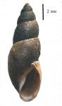 Omphiscola glabra shell