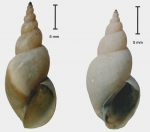 Shells of Lymnaea taurica kazakensis (two syntopic morphs)