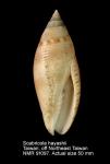 Scabricola hayashii