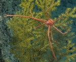 Gastroptychus sp., 774 m Gulf of Mexico