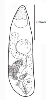G. faroensis