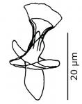 P. contortoides