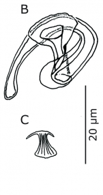 Paulodora drepanophora