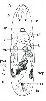Duplacrorhynchus heyleni