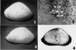 Bairdia villosa Brady, 1880 - Lectotype Paralectotype -  from Puri & Huling 1976