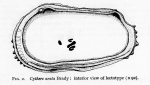 Bradleya arata (Brady, 1880) - Lectotype by Puri & Hulings 1976 fig. 02