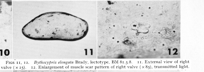 Bythocypris elongata - Lectotype - Puri & Hulings 1976