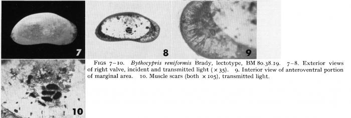 Bythocypris reniformis Brady, 1880 - Lectotype-Puri & Hulings, 1976