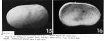 Cytherella serratula Brady, 1880 - Lectotype - Puri & Hulings 1976